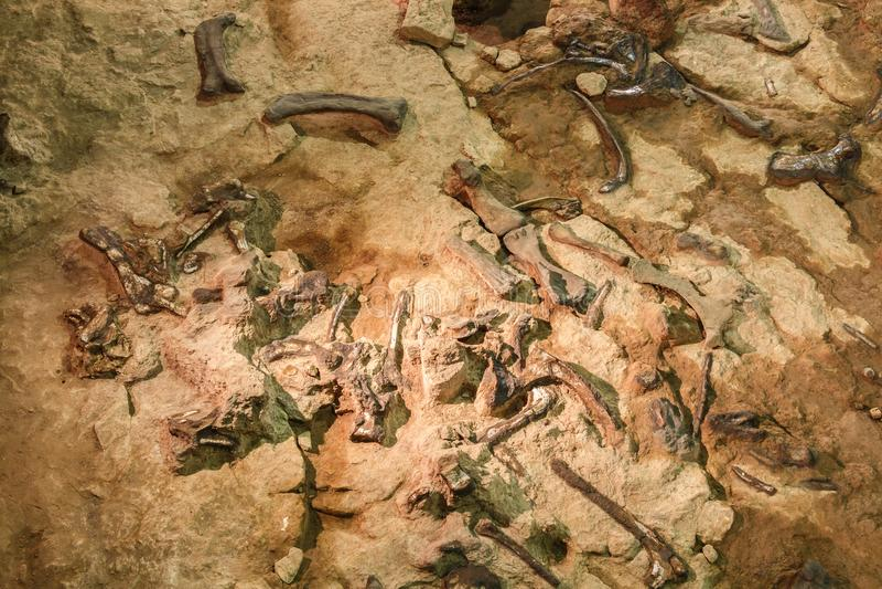 Fossiel van Phuwiangosaurus-sirindhornae bij Sirindhorn-Museum, Kalasin, Thailand Dichtbij volledig fossiel stock fotografie