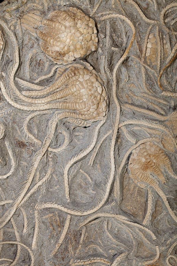 Fossiele Crinoid (socialis Uintacrinus) stock foto's