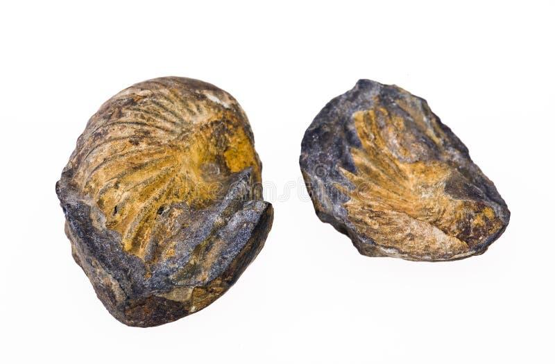 Fossiele shell royalty-vrije stock fotografie