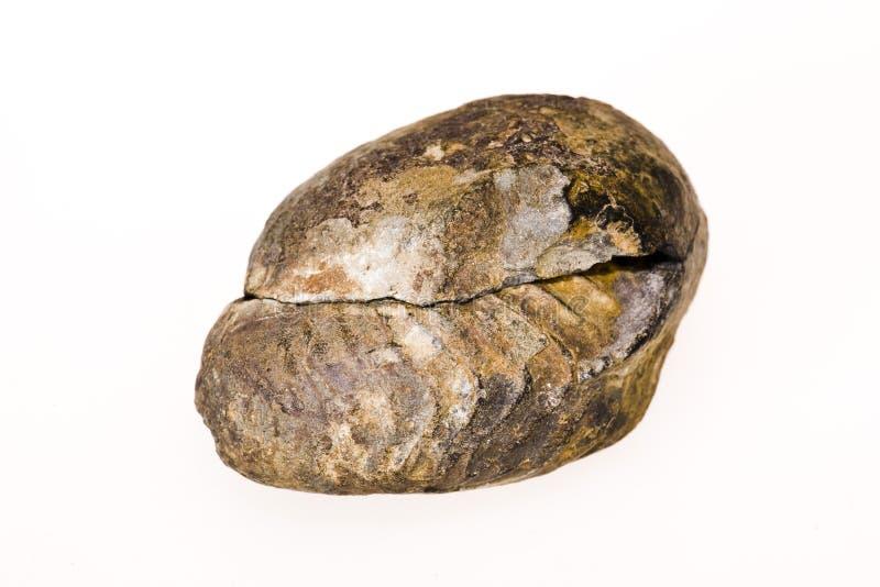 Fossiele shell stock foto