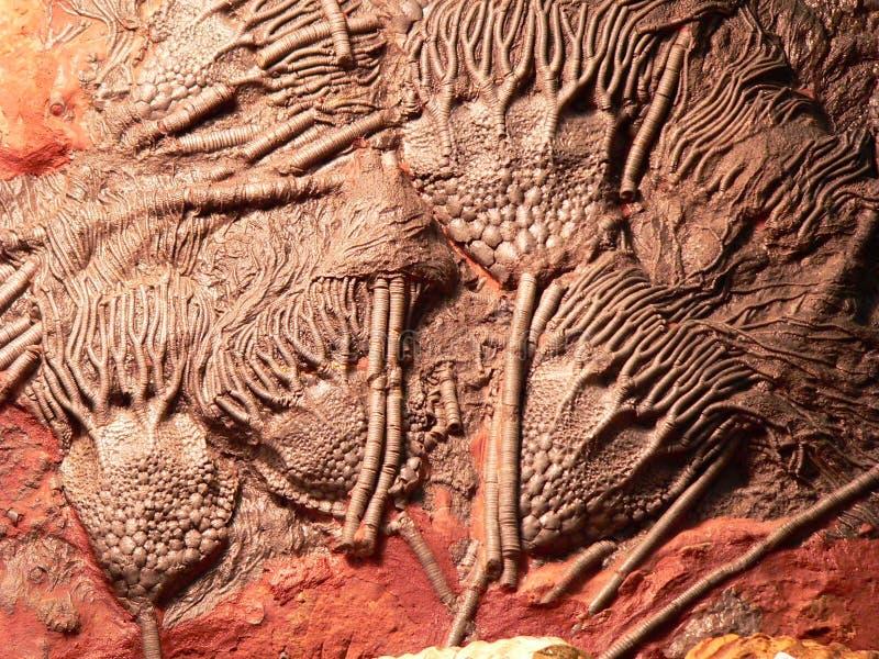 Fossil lizenzfreies stockfoto