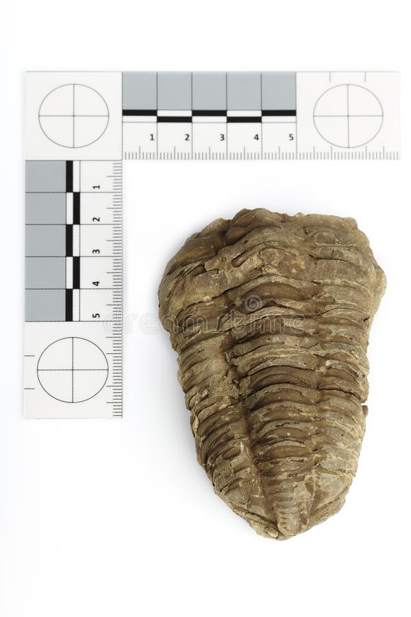 Fossil of African trilobite documented on white background with measure. Trilobite fossil found probably in Morocco documented with scale and measure on white royalty free stock photos