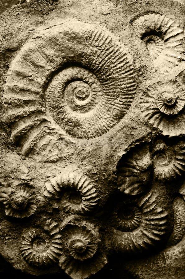 Fossil- ammonit arkivfoton