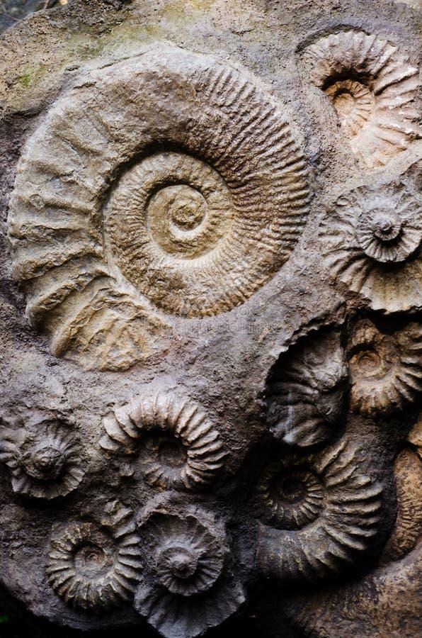 Fossil- ammonit arkivbild