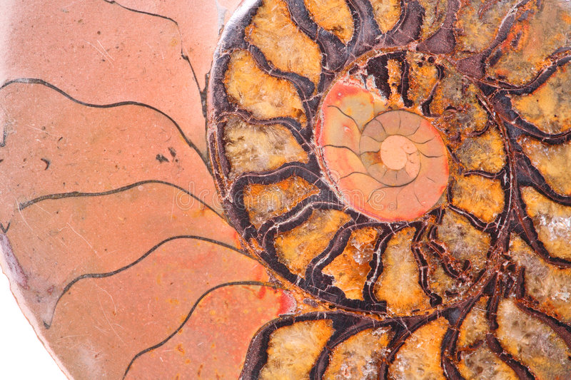 Download Fossil ammonite stock image. Image of ancient, extinction - 8186263