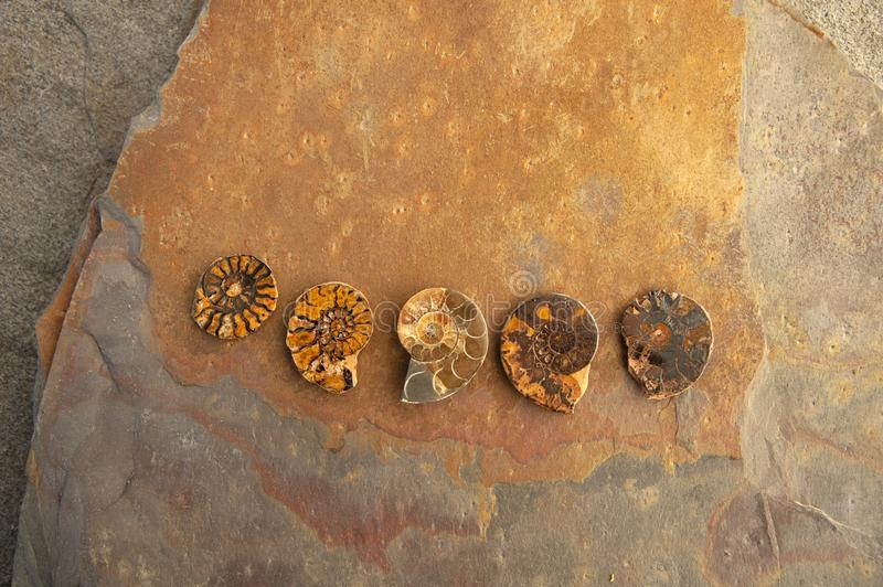 Fossil Ammonite Nautilus stock photography