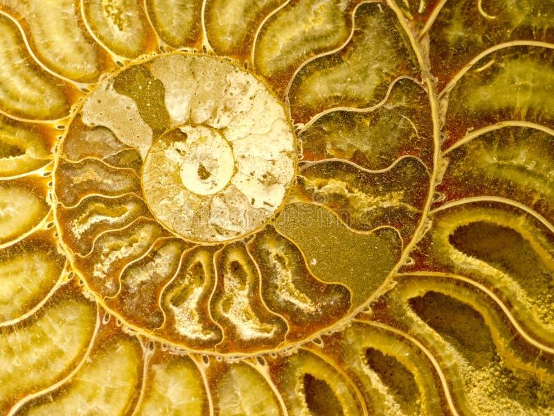 Fossil av Ammonoidea royaltyfria foton