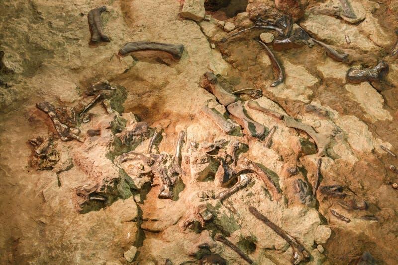 Fossil av Phuwiangosaurussirindhornae på det Sirindhorn museet, Kalasin, Thailand Nära färdigt fossil arkivbild