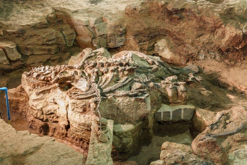 Fossil av Phuwiangosaurussirindhornae på det Sirindhorn museet, Kalasin, Thailand Nära färdigt fossil arkivfoton