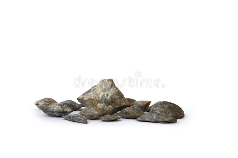 Fossil brachiopods royalty free stock photos