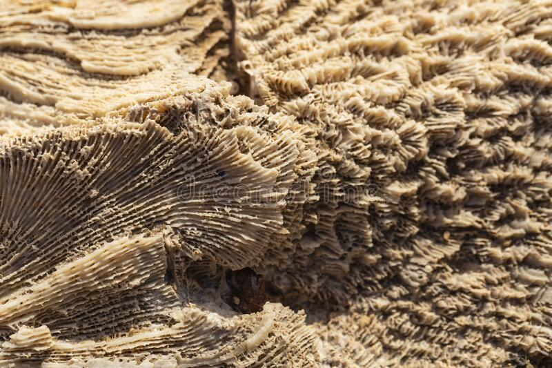 Fossil corals of the Red Sea. Ancient creatures, turned into stone stock image