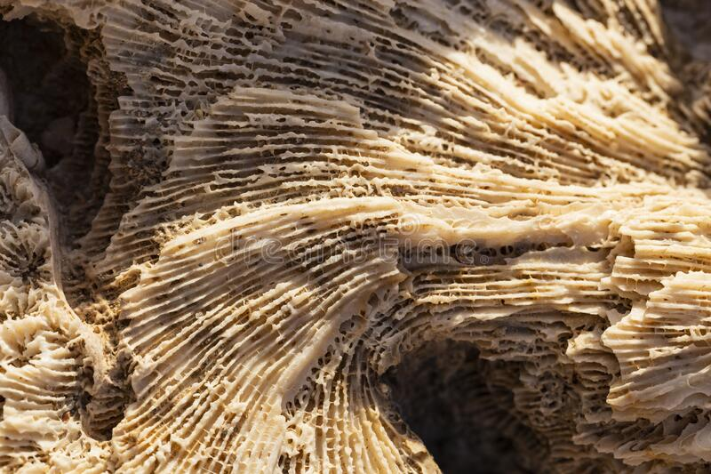 Fossil corals of the Red Sea. Ancient creatures, turned into stone stock photography