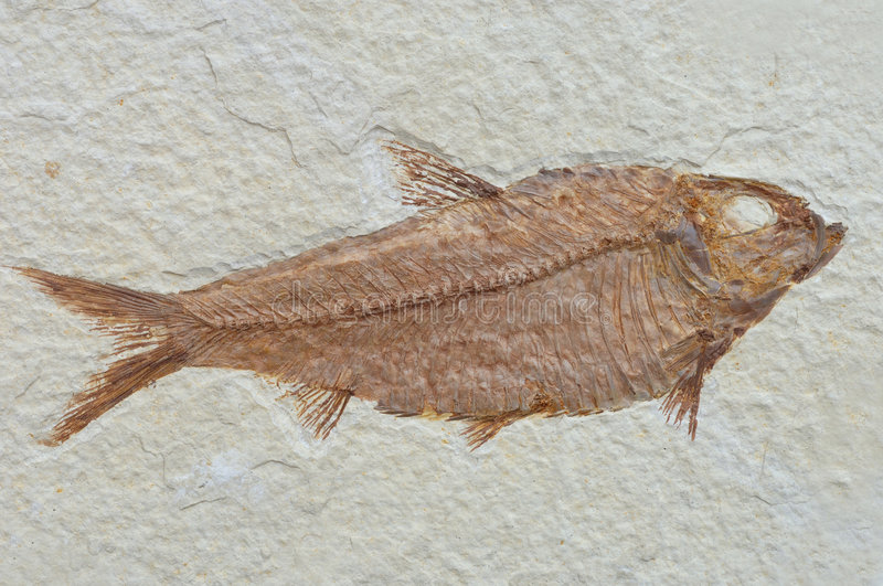 Fossil fish. Fish Knightia eocaena size: 10,8 cm age: etwa 42 Mill. years, Green River Formation found: Fossil Lake, Wyoming , USA stock photography