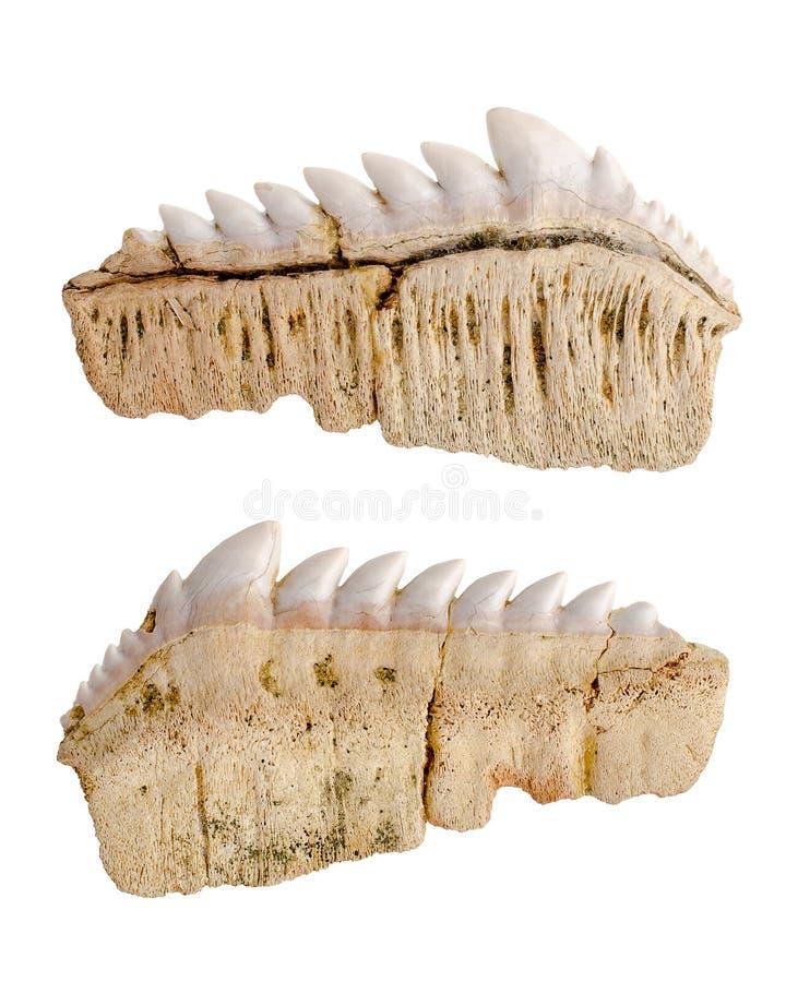 Fossil fossiliserade hajtänder isolerat royaltyfri foto