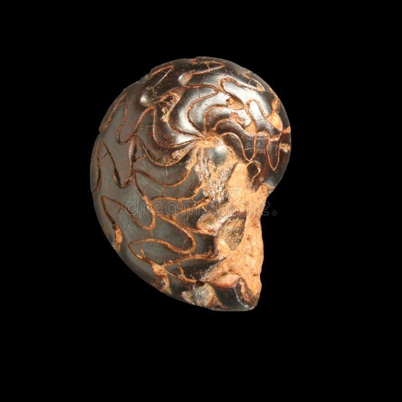 fossil- goniatitsp för discoclymenia royaltyfri fotografi