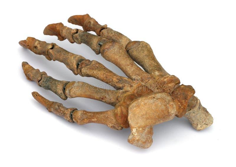 fossil- hand royaltyfri foto