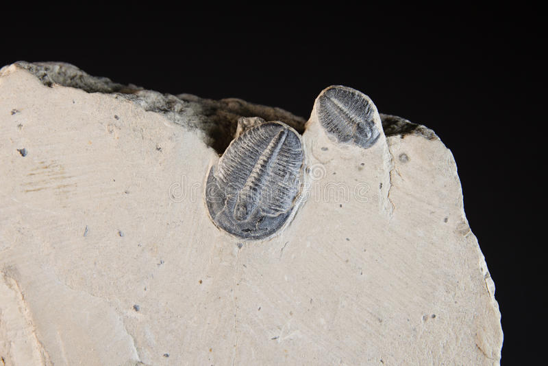 Fossil i vagga royaltyfria bilder