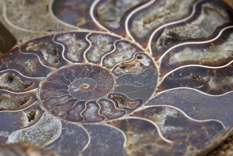 Fossil- nautilus arkivfoto