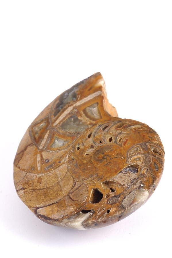 fossil- nautiluswhite för bakgrund fotografering för bildbyråer