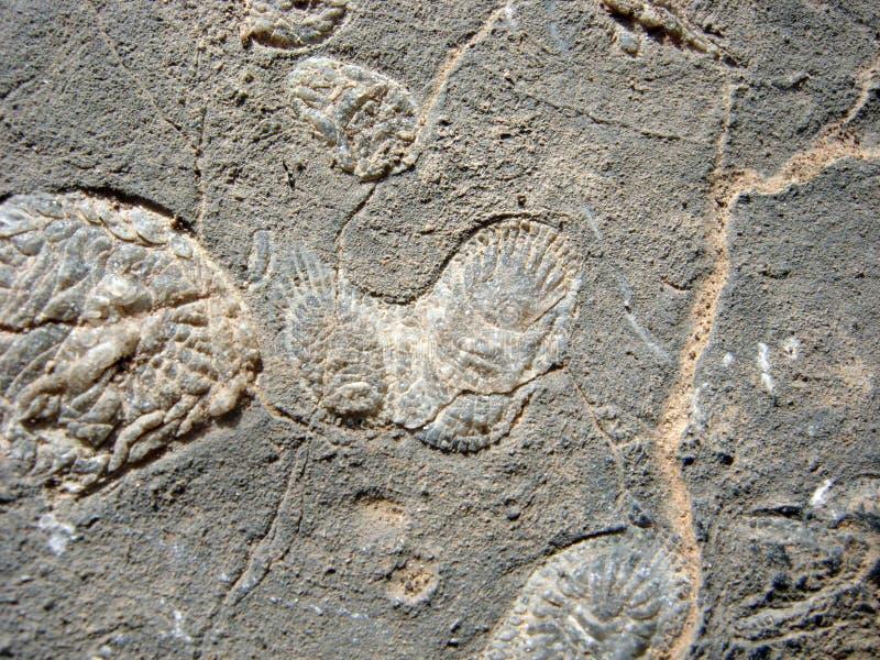 fossil- parameciumrock arkivfoto