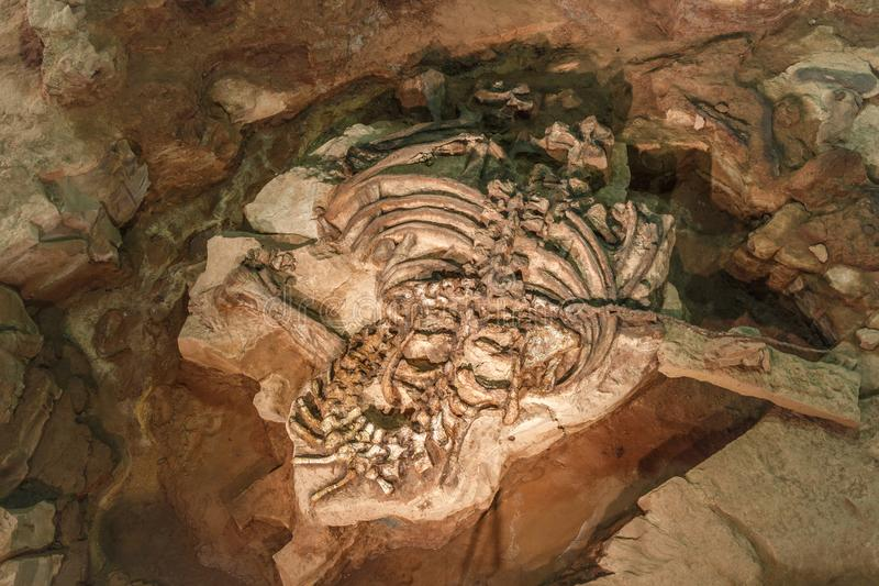 Fossil of Phuwiangosaurus sirindhornae at Sirindhorn Museum , Kalasin , Thailand . Near complete fossil.  stock photo