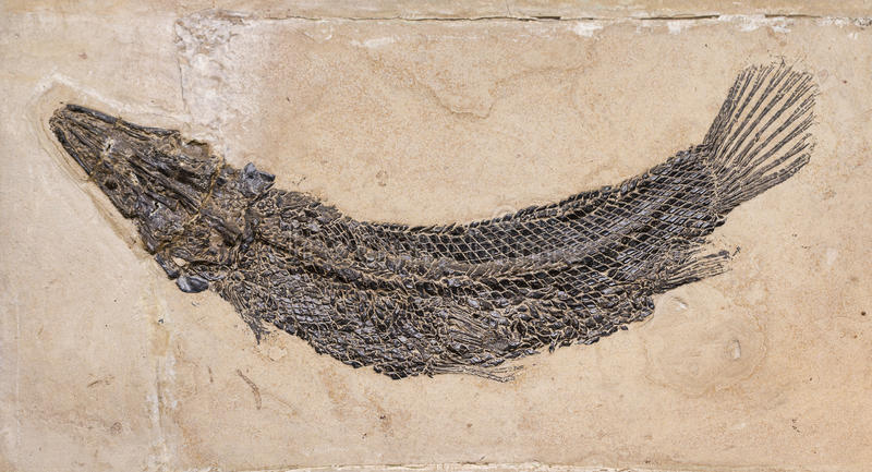 Fossil. Of a prehistoric fish royalty free stock photography