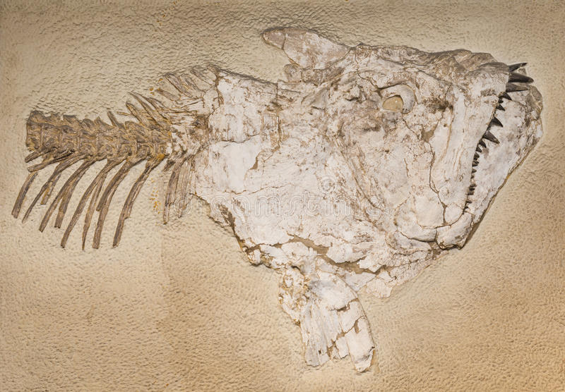 Fossil. Of a prehistoric fish stock photos