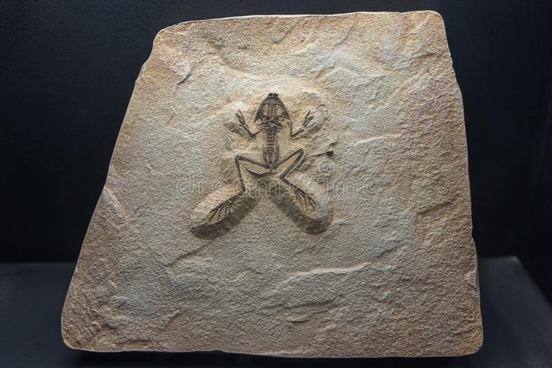 Fossil of a prehistoric frog found in perfect condition. On a rock stock image