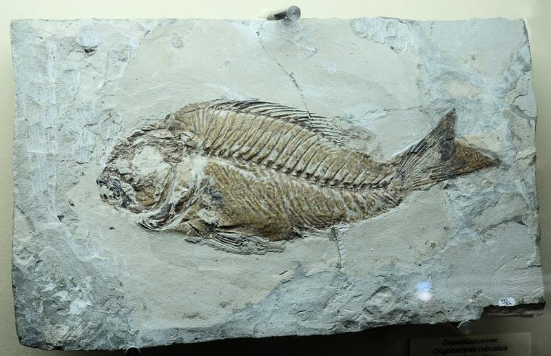 Fossil relic fish. Imprint on the stone.  stock photo