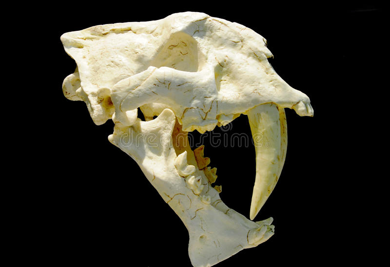 Fossil of Saber-toothed tiger. Saber-toothed tiger fossil in ancient age royalty free stock photos
