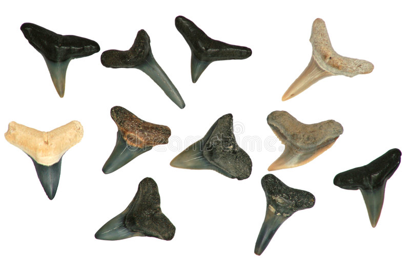Fossil Shark's Teeth. A collection of fossil shark's teeth belonging to Carcharodon Megalodon, Tertiary Period, south-west Florida, USA royalty free stock photography