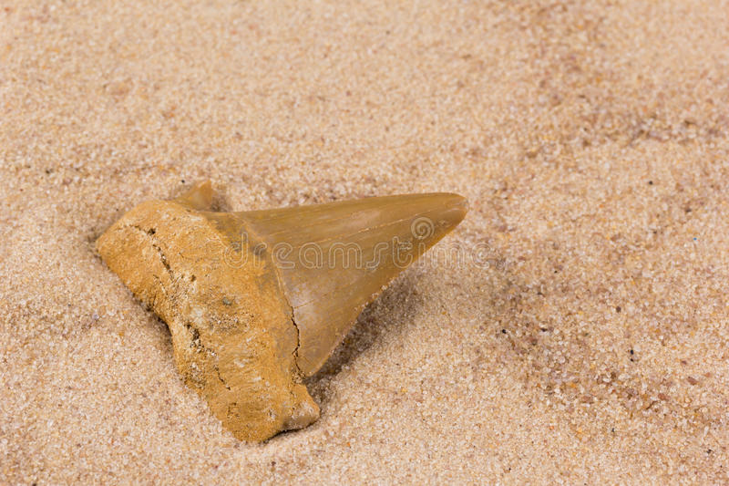 Fossil shark tooth in the sand. Acute fossil shark tooth in the sand stock image