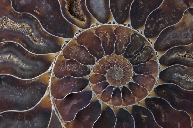 Fossil shell macro texture. Fossil shell macro , texture and background royalty free stock images