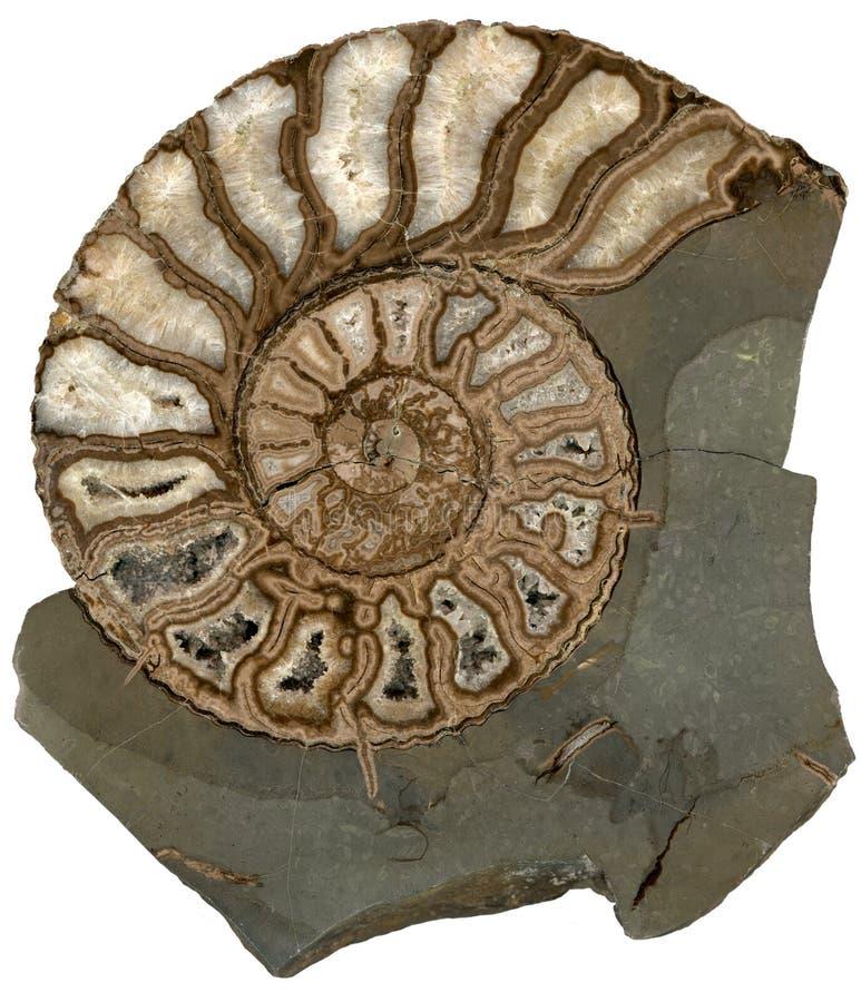 Fossil- skal för ammonit som isoleras på vit bakgrund arkivbild