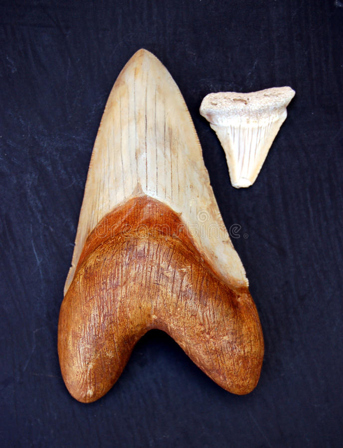 Fossil Teeth. A giant megalodon tooth compared to that of a fossilized shark stock images
