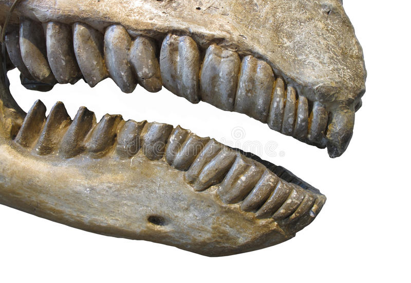 Fossil teeth and jaw of mammal isolated