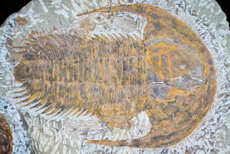 Fossil of trilobite stock images