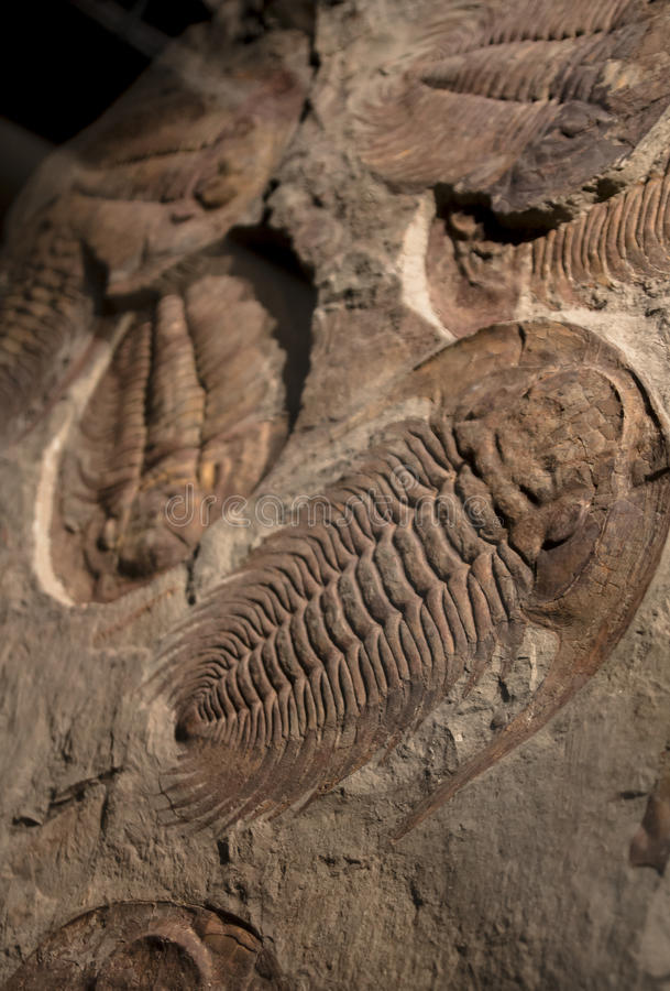 Fossil trilobite imprint in the sediment royalty free stock image