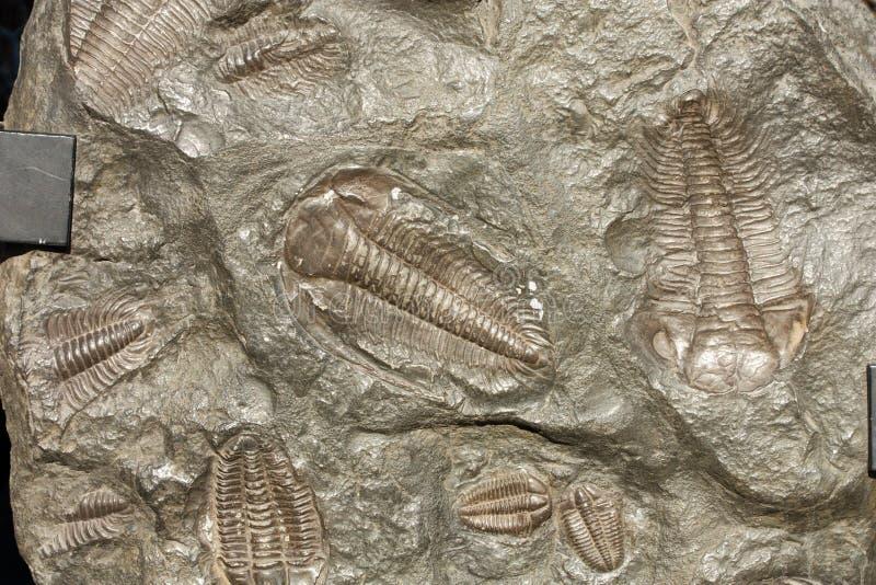 Fossil- trilobites fotografering för bildbyråer