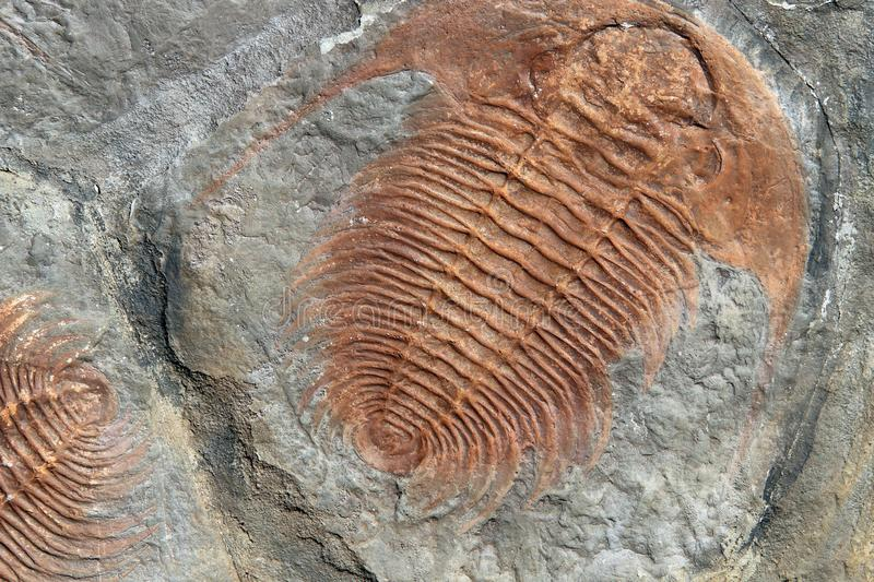 Fossil of a trilobites from the early ordovician period found in. Czech Republic royalty free stock photos