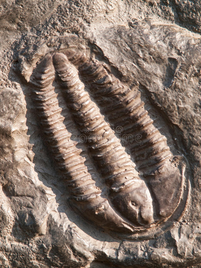 Fossil of a trilobites from the early ordovician period found in Czech Republic. Fossile of ordovician trilobite found in Czech republic royalty free stock images