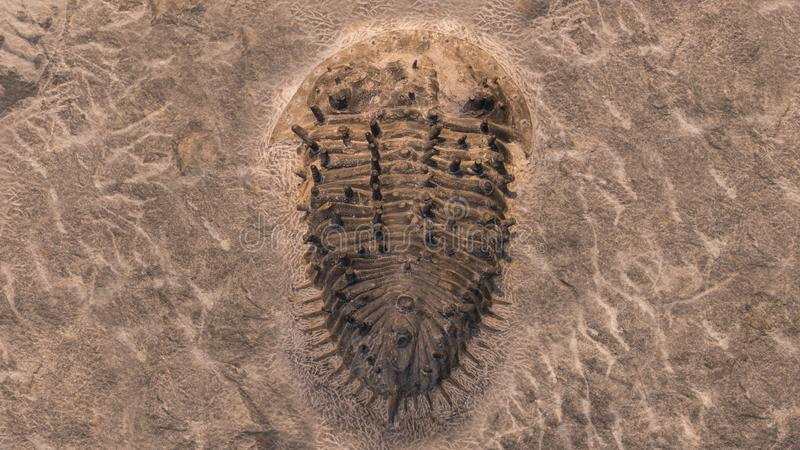 Fossil trilobites imprinted in the sediment. 4 Billion Year old Trilobite stock images