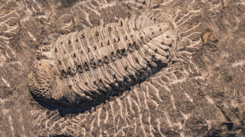 Fossil trilobites imprinted in the sediment. 4 Billion Year old Trilobite royalty free stock photography