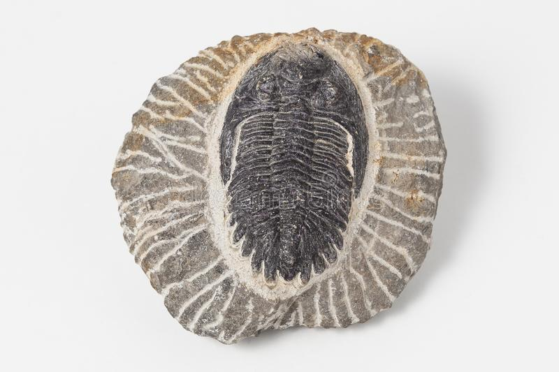 Fossil Trilobites on white background stock images