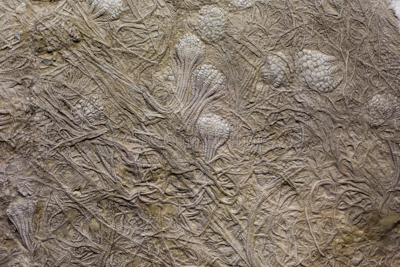 Fossil vaggar in arkivfoton