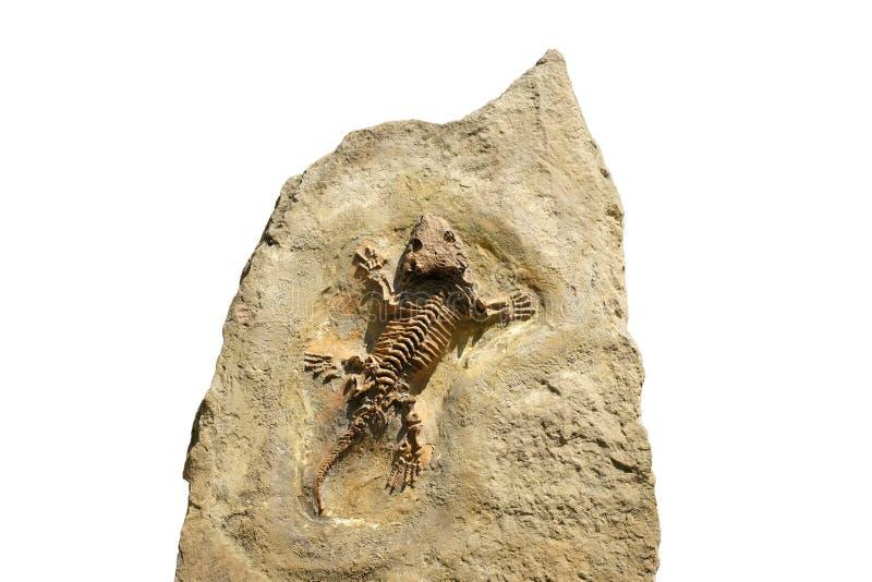 Fossil von einem Seymouria stockfotos