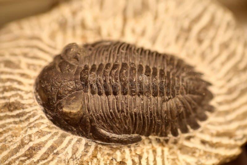 Fossil von trilobite lizenzfreie stockfotografie