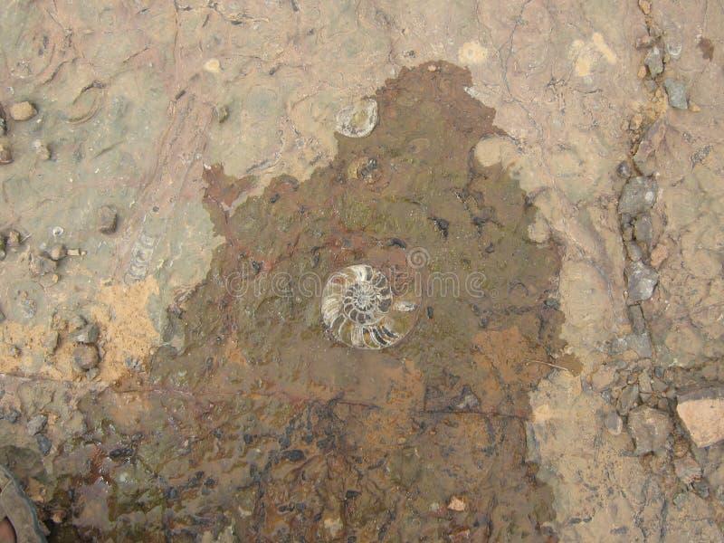Fossile ammonit i dess natur arkivfoton