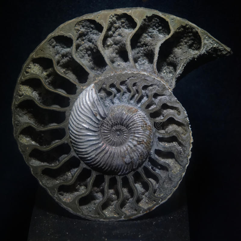 Fossile d'ammonite photos stock