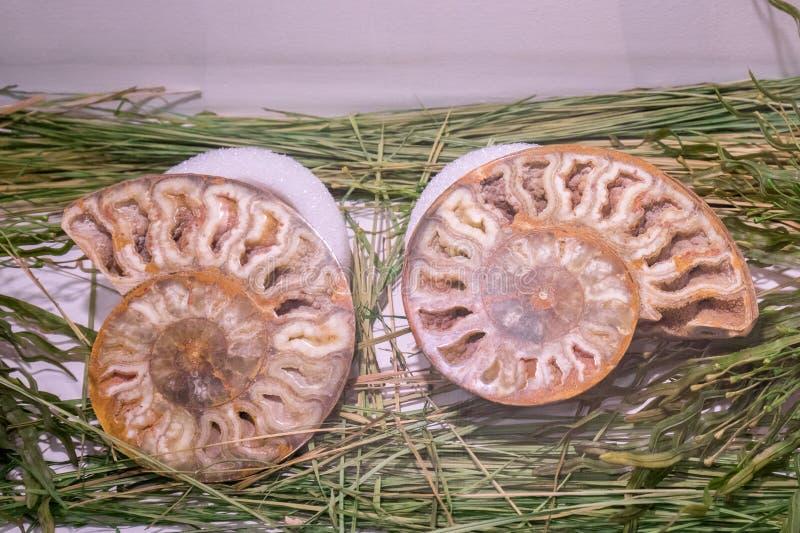 Fossile d'ammonite image stock